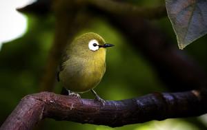 Oiseau à lunettes