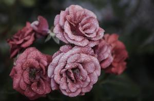 Rosemund et le Wood Notes Wild dans S'ouvrir à l'art, c'est s'ouvrir à l'autre... rose-615281_1920-300x198